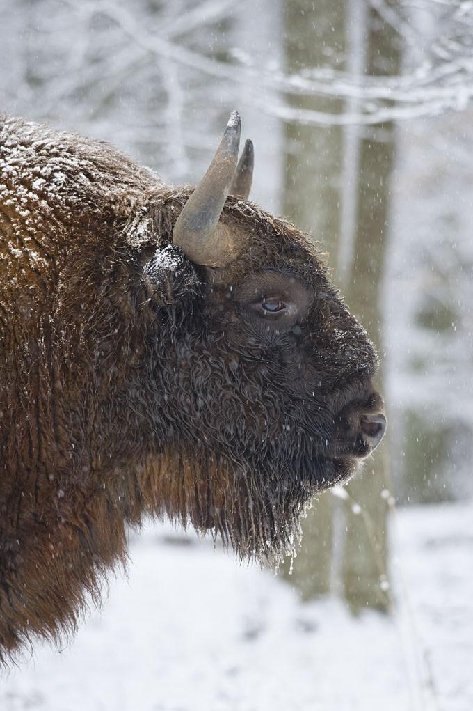 Bialowieza, la forêt des bisons