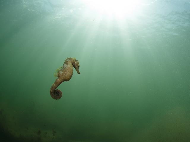 La traque du cheval de mer