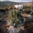 palestine la voie de l 39 olivier a r magazine. Black Bedroom Furniture Sets. Home Design Ideas