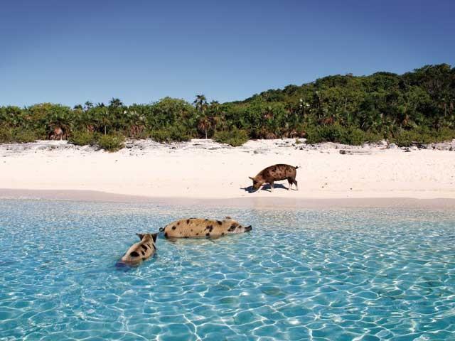 Nage avec les cochons - Bahamas