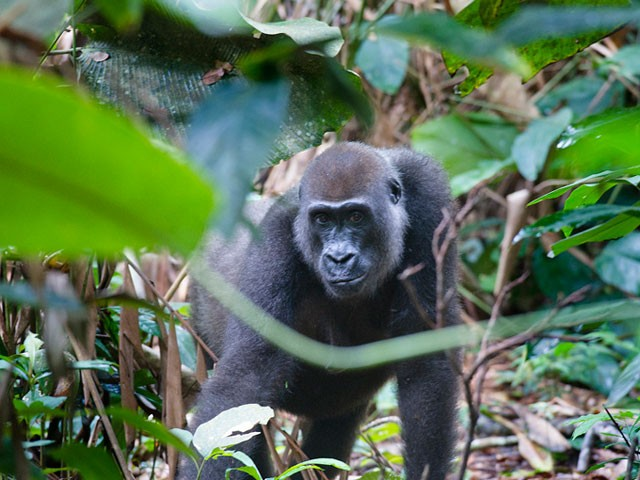 Congo - Gorilles dans la bruine