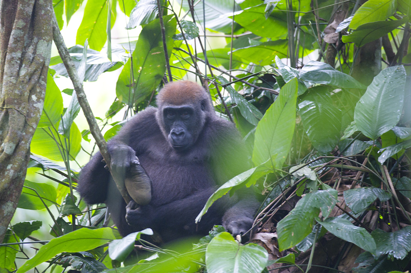 Gorilles dans la bruine  - République du Congo