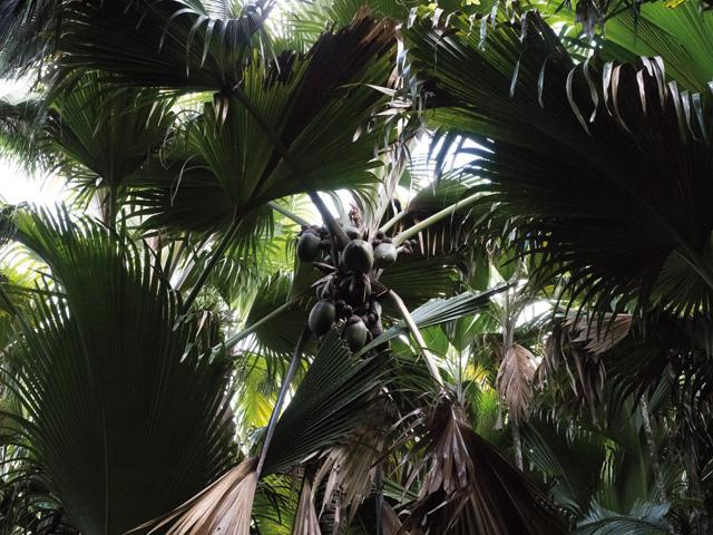 Les Seychelles - Gare à tes cocos-fesses 3