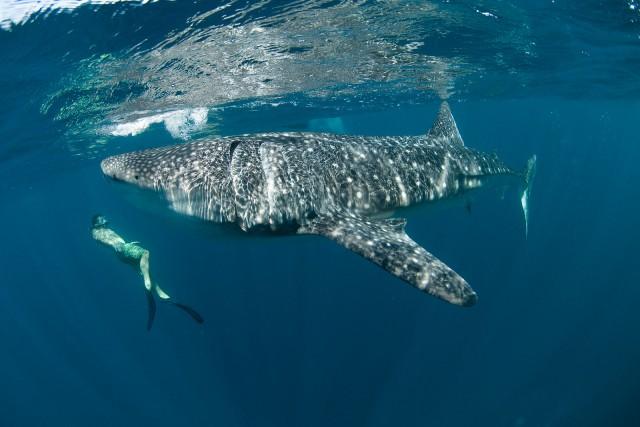 Nager avec les requins baleines - Australie