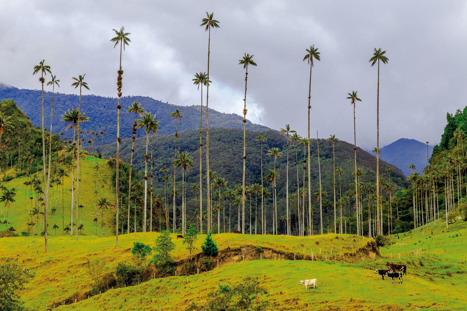 7 lieux à découvrir en Colombie - [5/7] Vallée de Cocora