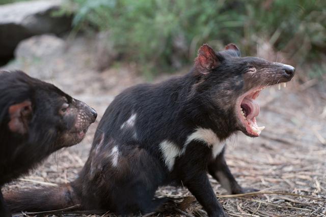 Face à face avec le (pas si diabolique) diable de Tasmanie - A/R Magazine voyageur 2019