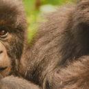 Rwanda : gorilles à gogo dans le parc national des Volcans - A/R Magazine voyageur 2019
