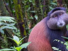 5 choses à savoir sur les gorilles au Rwanda - A/R Magazine voyageur 2019