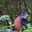 Gorilles à gogo au Rwanda - A/R Magazine voyageur 2019